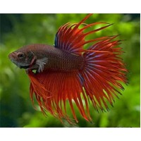 Betta Crowntail mascul L