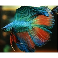 Betta Doubletail mascul L