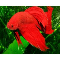 Betta Splendens mascul L